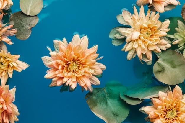 Płasko leżały bladopomarańczowe chryzantemy w niebieskiej wodzie