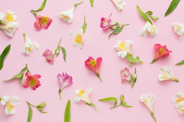 Płasko ułożony różowy układ alstremerii