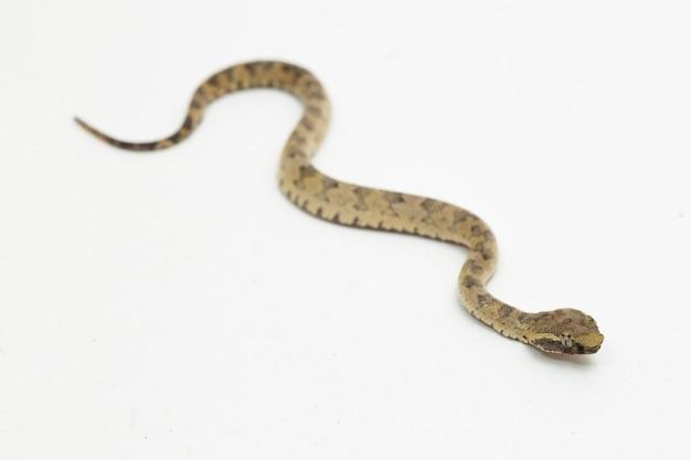 Płaskonosy wąż pitviper trimeresurus puniceus na białym tle
