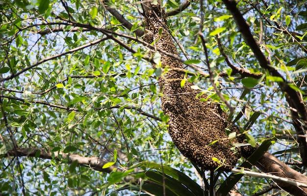 Plaster miodu z leśnej pszczoły na gałęzi drzewa