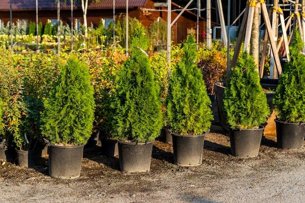 Plastikowe doniczki z tują i zimozielonymi roślinami w centrum ogrodniczym i szklarni