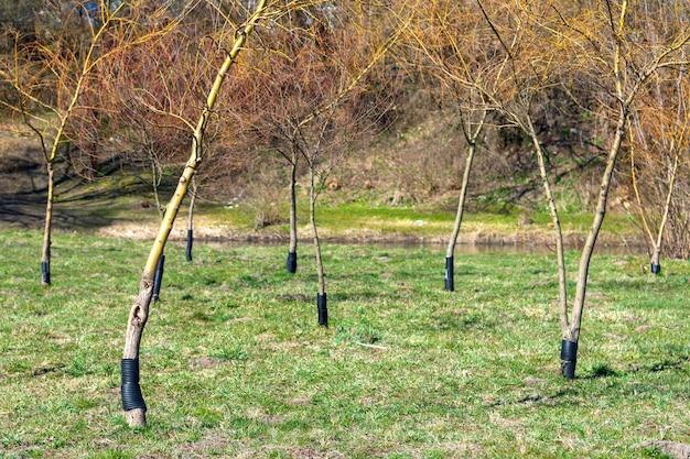 Plastikowe ogrodzenie, aby bobry nie żuły dojrzałych drzew. doświadczeni drwale nie mogą się na nich ząbić