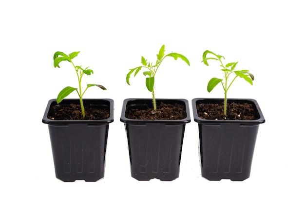 Plastikowe pojemniki z młodymi zielonymi sadzonkami pomidorów na białym tle