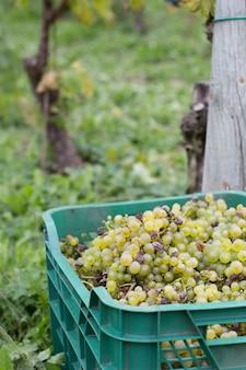 Plastikowe pudełko pełne winogron, zbiór winogron w winnicy