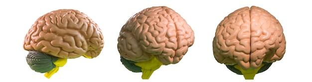 Plastikowy anatomiczny model ludzkiego mózgu na białym tle. stoisko medyczne, koncepcja edukacji, neurologia i anatomia
