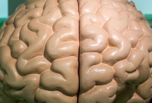 Plastikowy anatomiczny model ludzkiego mózgu, zbliżenie. stoisko medyczne, koncepcja edukacji, neurologia i anatomia