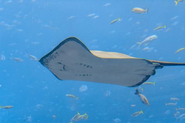 Płaszczka pływająca pod wodą. płaszczka z krótkim ogonem lub płaszczka gładka (bathytoshia brevicaudata) jest powszechnym gatunkiem płaszczki z rodziny dasyatidae. atlantis, sanya, wyspa hainan, chiny.