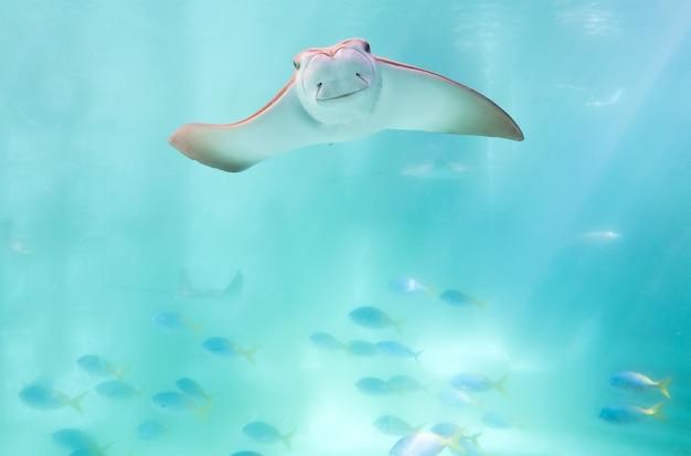 Płaszczka pływanie pod niebieski ocean jak latające w niebo i skierowane do kamery