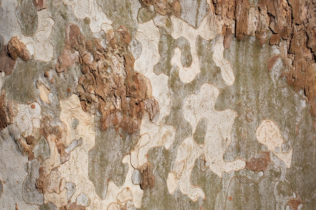 Platanus occidentalis zbliżenie tekstury kory drzewa. zrzucająca kora drzewa. wzór jest podobny do wzoru kamuflażu wojskowego.