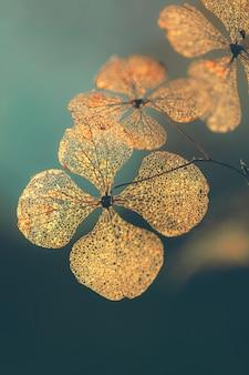 Płatek suchy kwiat hortensji tło