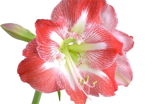 Płatki kwiatu amarylis hippeastrum. amarillis odizolowywający na białym tle