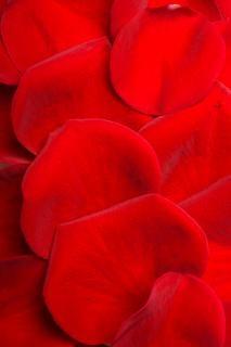 Płatki róży, kwiat