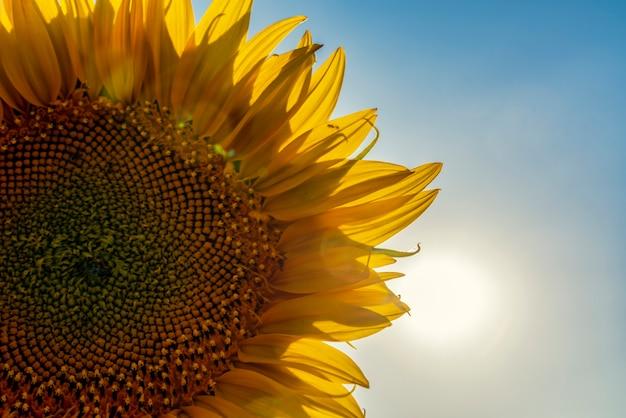 Płatki słonecznika zwrócone ku słońcu w piękny dzień na polach kastylii la mancha w hiszpanii