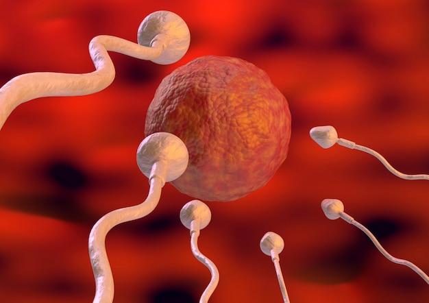 Plemnik w kierunku komórki jajowej wewnątrz macicy w naturalnym zapłodnieniu