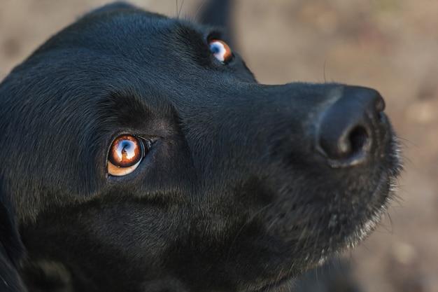 Plenerowy portret piękny czarny labradora obsiadanie w ogródzie. zwierzęta na ulicy. przyjaciel człowieka. przewodnik.