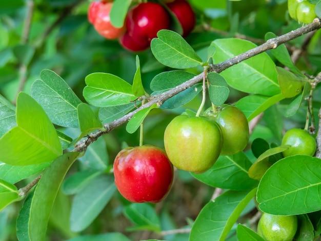Plenerowy sad z świeżą organicznie acerola wiśnią, drzewo po środku liści. zbliżenie