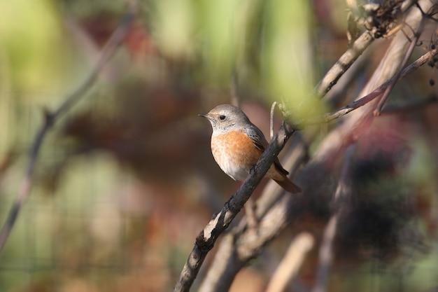 Pleszka zwyczajna (phoenicurus phoenicurus) siedzi na krzaku czarnego bzu w łagodnym świetle poranka. zbliżenie i łatwa identyfikacja ptaka w zimowym piórze