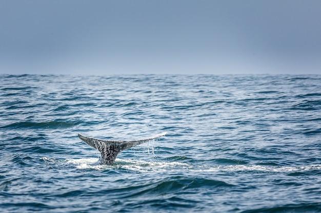 Płetwa ogonowa nurkującego wieloryba szarego w oceanie spokojnym