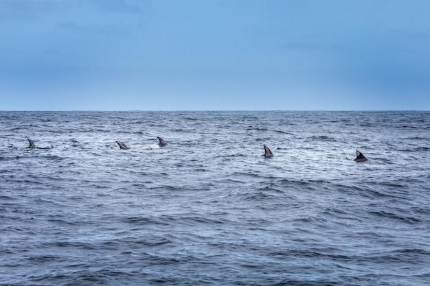Płetwy z rzędu. szkoła delfinów na oceanie spokojnym