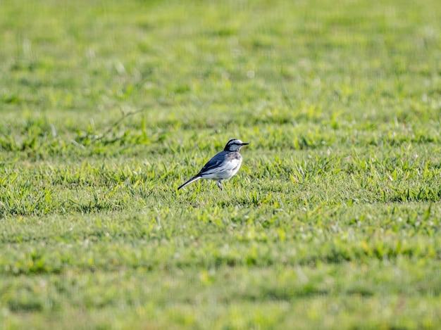 Pliszka siwa (motacilla alba) na skoszonym trawniku w jokohamie