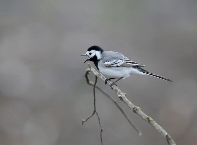 Pliszka siwa (motacilla alba) została zastrzelona w pochmurną pogodę na gałęzi drzewa