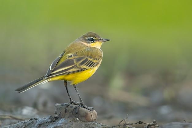 Pliszka żółta motacilla flava siedząca w błocie