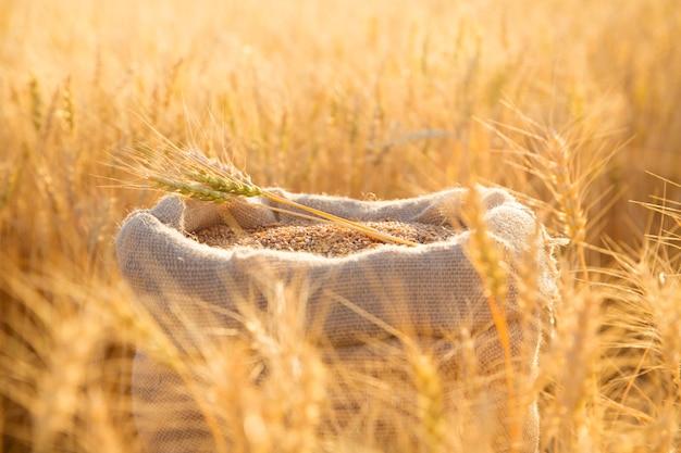 Płócienna torba z ziarnami pszenicy i skoszonymi kłosami pszenicy w polu o zachodzie słońca. pojęcie zbioru zbóż w rolnictwie.