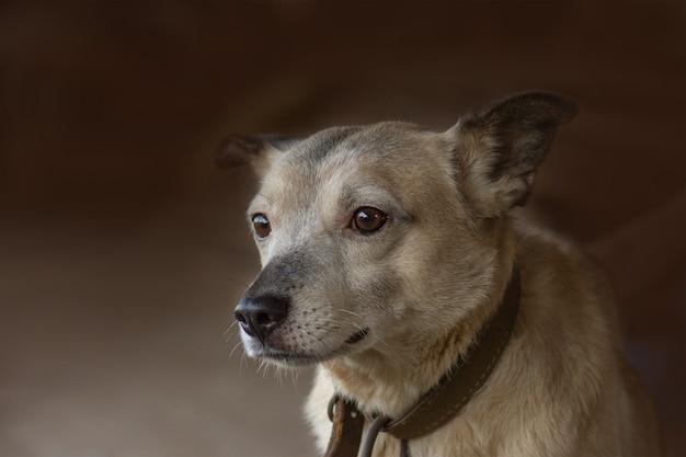 Płowy pies rasy mieszanej. pies i wieś. odpoczynek psa wsi. dorosły pies wsi na farmie.