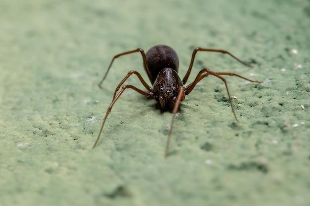 Plujący pająk z rodzaju scytodes