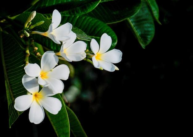Plumeria. białe pachnące kwiaty