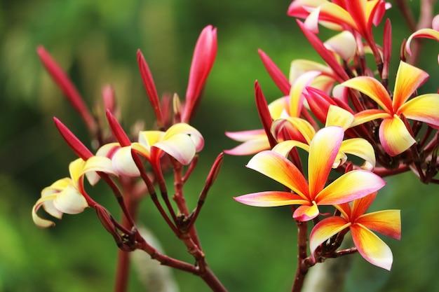 Plumeria bukieta kwiatu czerwony biały pomarańczowy żółty kwiat kwitnie w parku