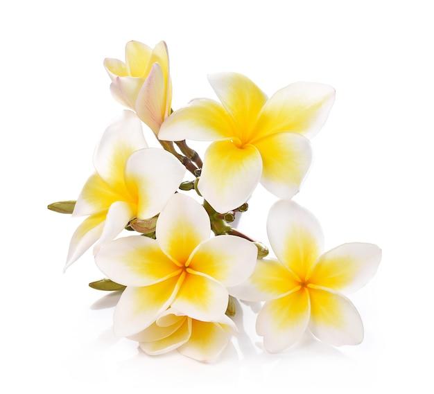 Plumeria i frangipani kwiaty na białym i ścieżce przycinającej