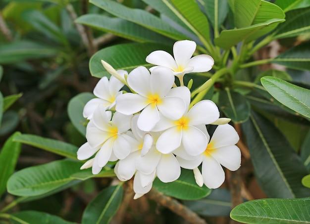Plumeria kwiat w ogródzie.