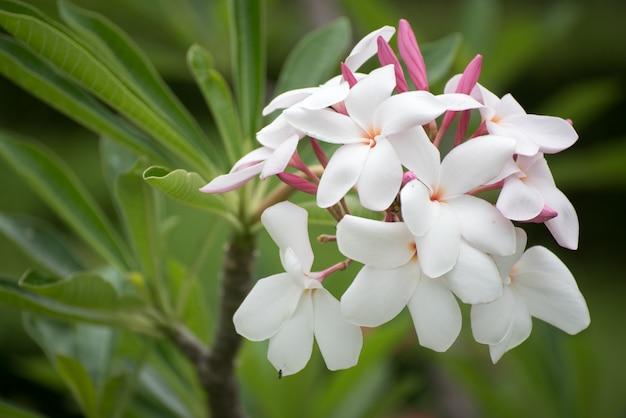 Plumeria kwiatu różowy i biały frangipani tropikalny kwiat