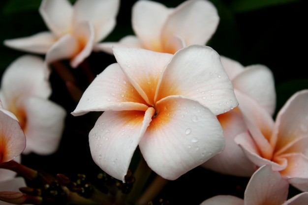 Plumeria, kwiaty frangipani