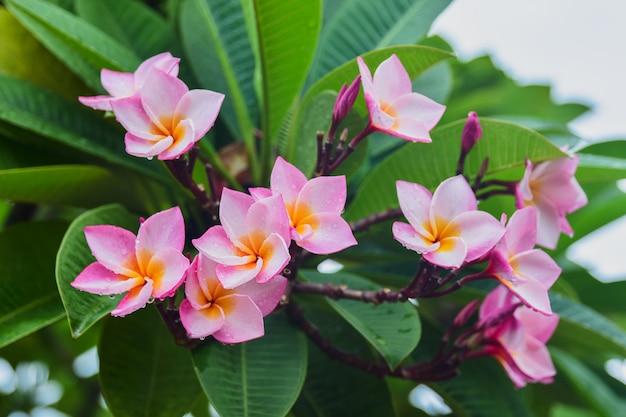 Plumeria rubra różowy kwiat