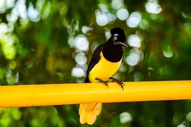 Pluszowy czubaty ptak jay na żółtym materiale po brazylijskiej stronie wodospadów iguazu