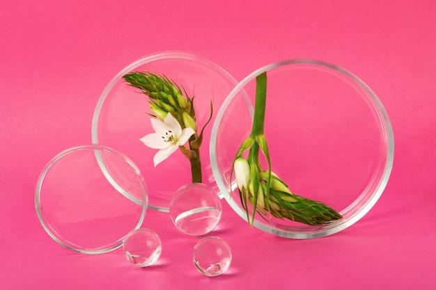 Płytki petriego przebywające na różowym tle z gałęzią kwiatową wewnątrz. szklane kulki w pobliżu. koncepcja badań i tworzenia kosmetyków.