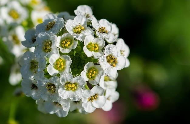 Płytkie ujęcie ostrości kiści młodych białych kwiatów słodkiej alyssum (lobularia maritima)