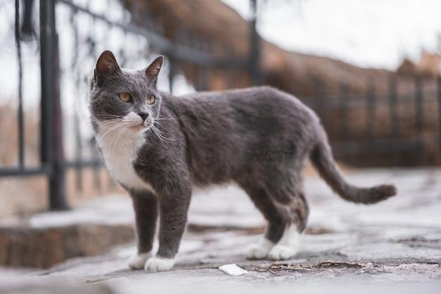 Płytkie ujęcie z uroczym brazylijskim krótkowłosym kotem na zewnątrz