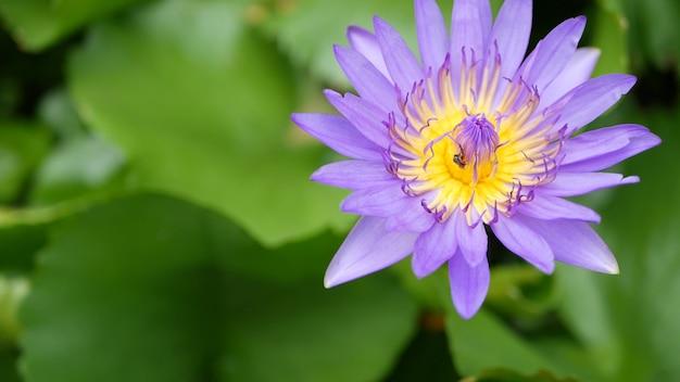 Pływająca lilia wodna w stawie. z góry zielone liście z fioletowym kwiatem. symbol buddyzmu.