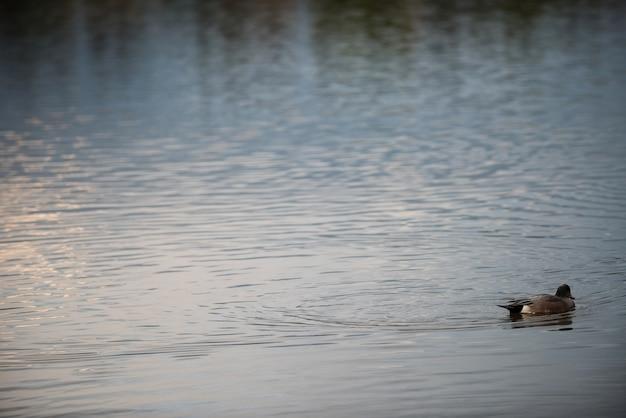 Pływanie gęsi w jeziorze