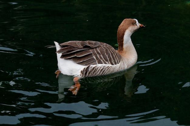 Pływanie kaczka w jeziorze.