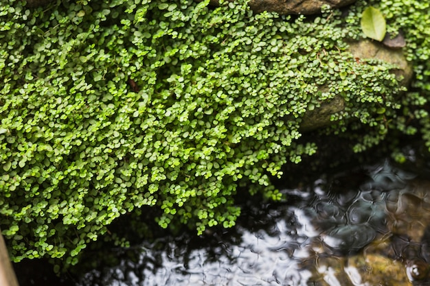 Pnącza rosnące na skale nad płynącym strumieniem