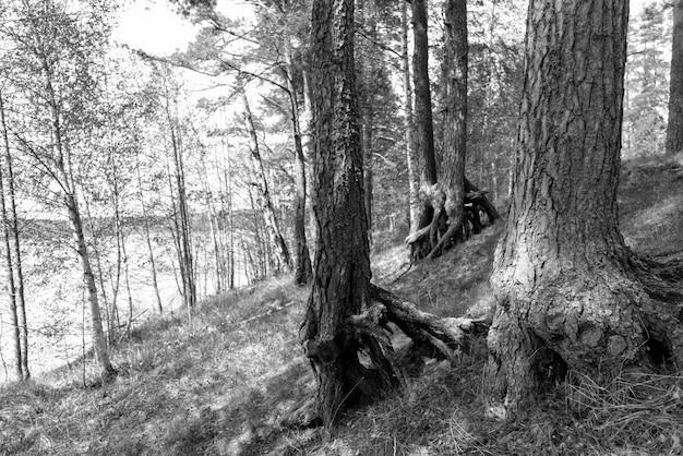 Pni starych sosen w lesie latem.