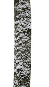 Pnie drzew ze śniegiem na białym tle