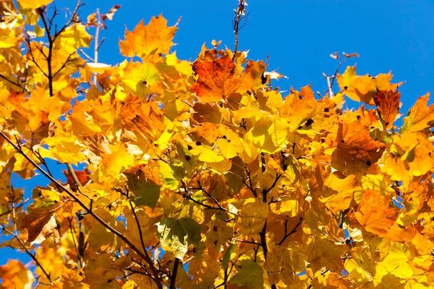 Pnie klonu pożółkłe jesienią. zdjęcie z bliska w parku miejskim
