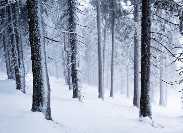 Pnie sosny w zimowym lesie z ziemi pełnej śniegu