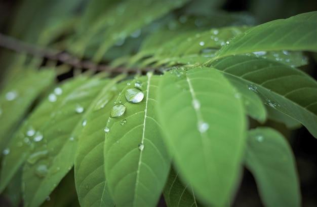 Po deszczu woda spada na zielone liście w tle wzór ogrodowykrople wody na zielonym liściu