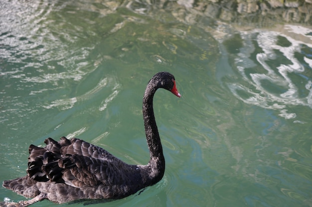 Po jeziorze pływa jeden czarny łabędź. rzadki piękny ptak, symbol lojalności.